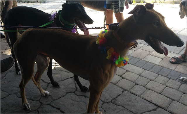 Friends of Greyhounds adoptable hounds Kelly and Mercury