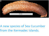 http://sciencythoughts.blogspot.co.uk/2012/12/a-new-species-of-sea-cucumber-from.html