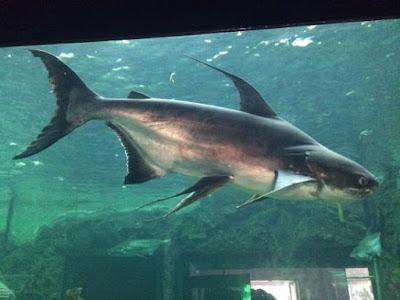 Giant Mekong Catfish Ikan Predator Air Tawar Yang Merupakan Perenang Aktif Di Akuarium