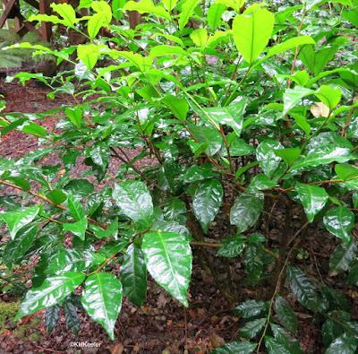 tea, Camellia sinensis