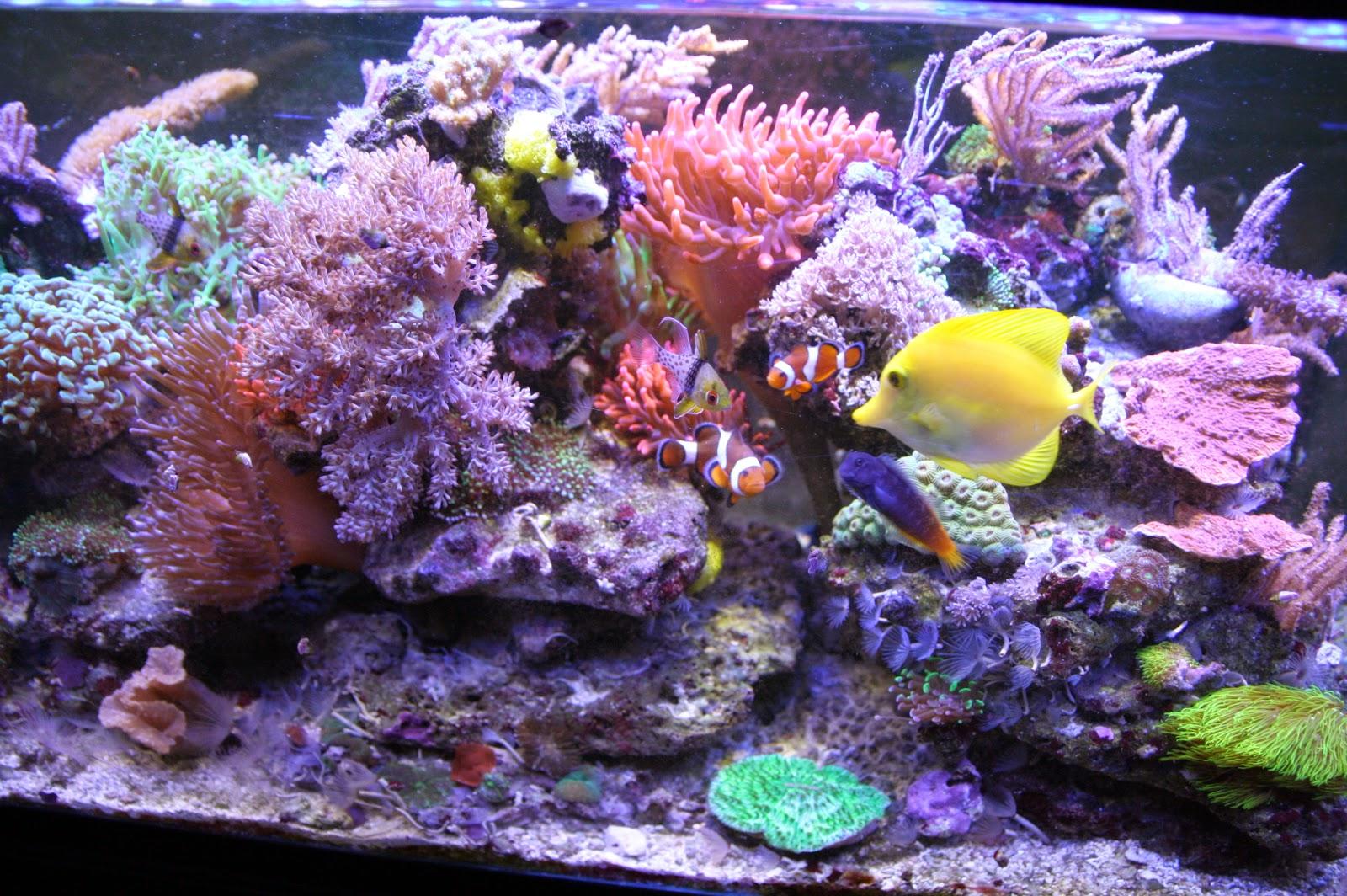 korallenableger in braunschweig meerwasser aquarium einsteiger tipps. Black Bedroom Furniture Sets. Home Design Ideas