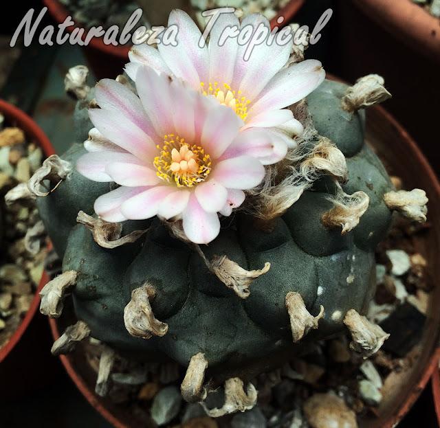 Vista del cactus Peyote Mexicano florecido, Lophophora williamsii