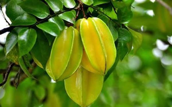 cây khế ra trái vàng