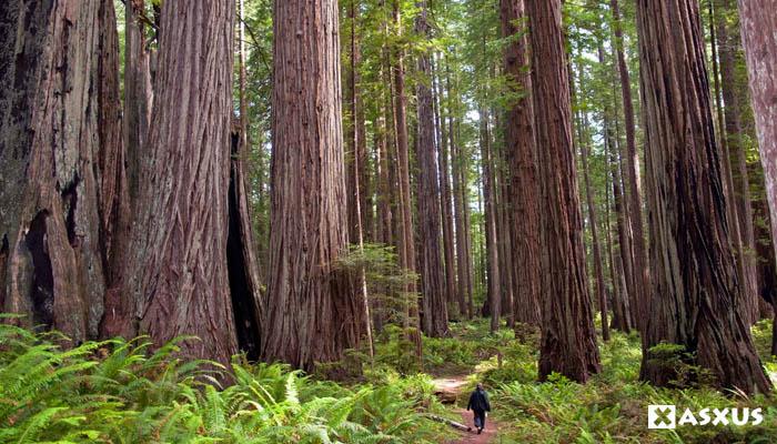 Inilah 10 Jenis Pohon Tertinggi di Dunia Saat Ini
