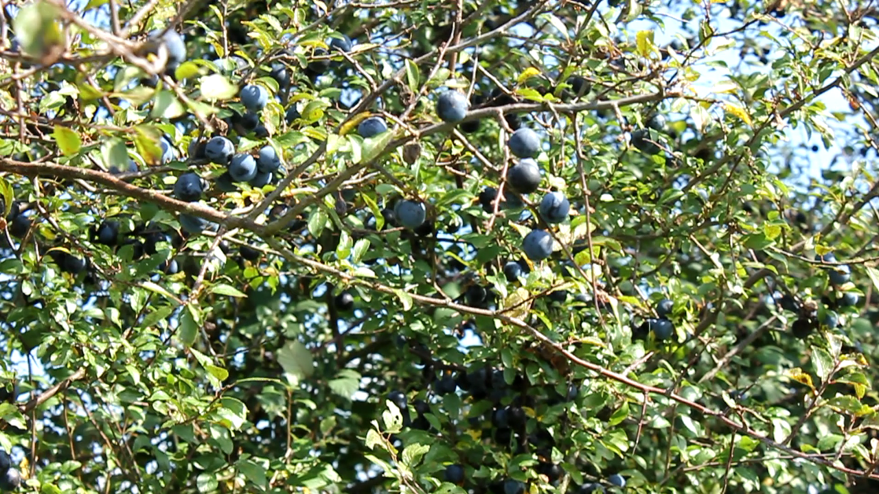 Sloes an ingredient for my clafoutis with wild fruit recipe