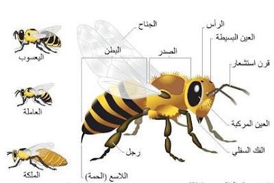 عندما ترقص النحلة فأنها تتحدث  اكثر من 9 رسائل تصدرها النحل بالرقص
