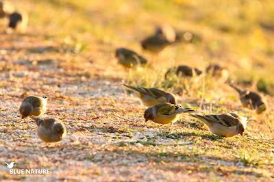 Bando de verderón serrano (Carduelis citrinella) comiendo en el borde del camino al amanecer