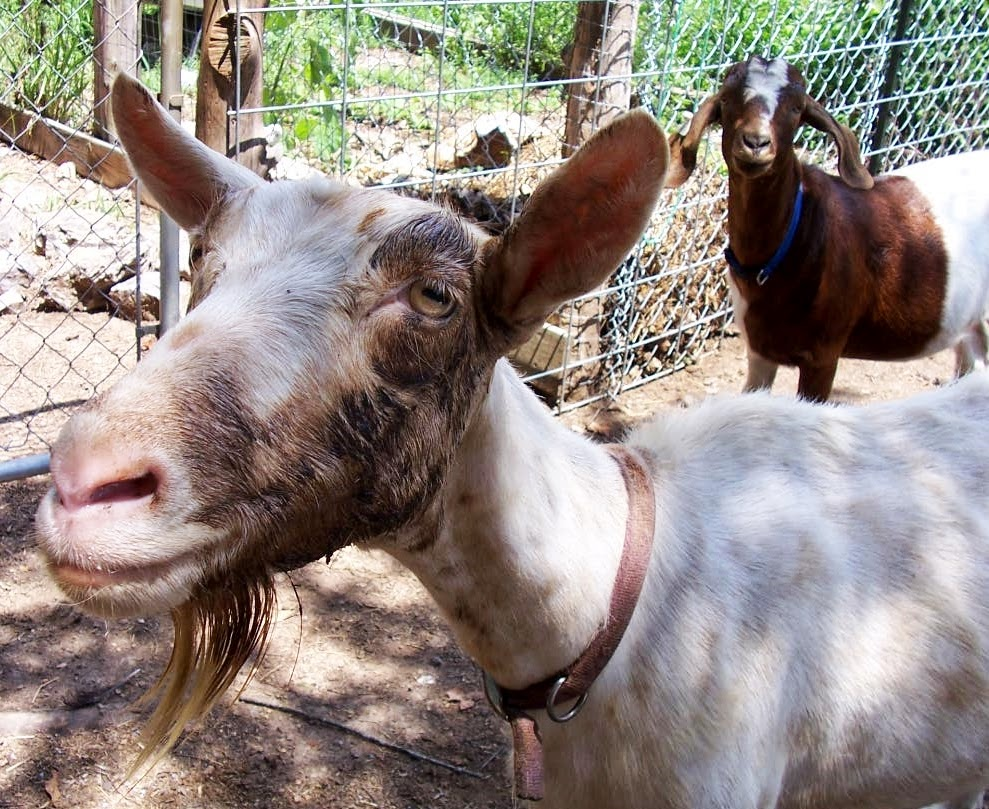 Agree, the photo of pussy of female goat was error