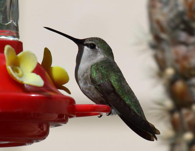 Costa's Humingbird