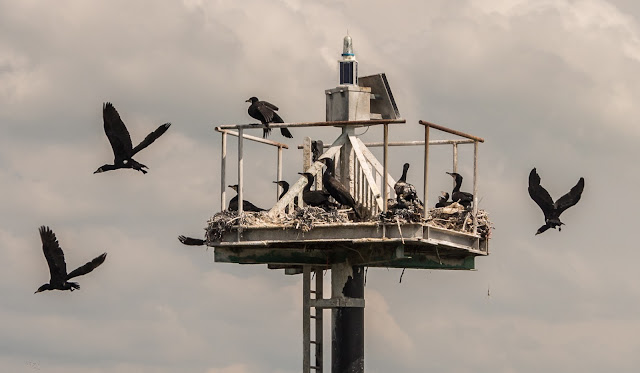 Photo of cormorants nesting on a navigation mark in the Solway Firth
