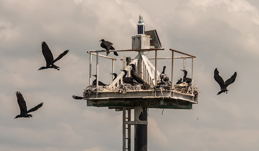 A flight of cormorants and a fluther of jellyfish - wildlife in and around the marina