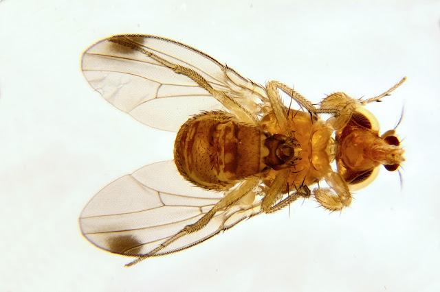 Ventral view: Male Spotted Wing Drosophila (SWD, Drosophila suzukii)