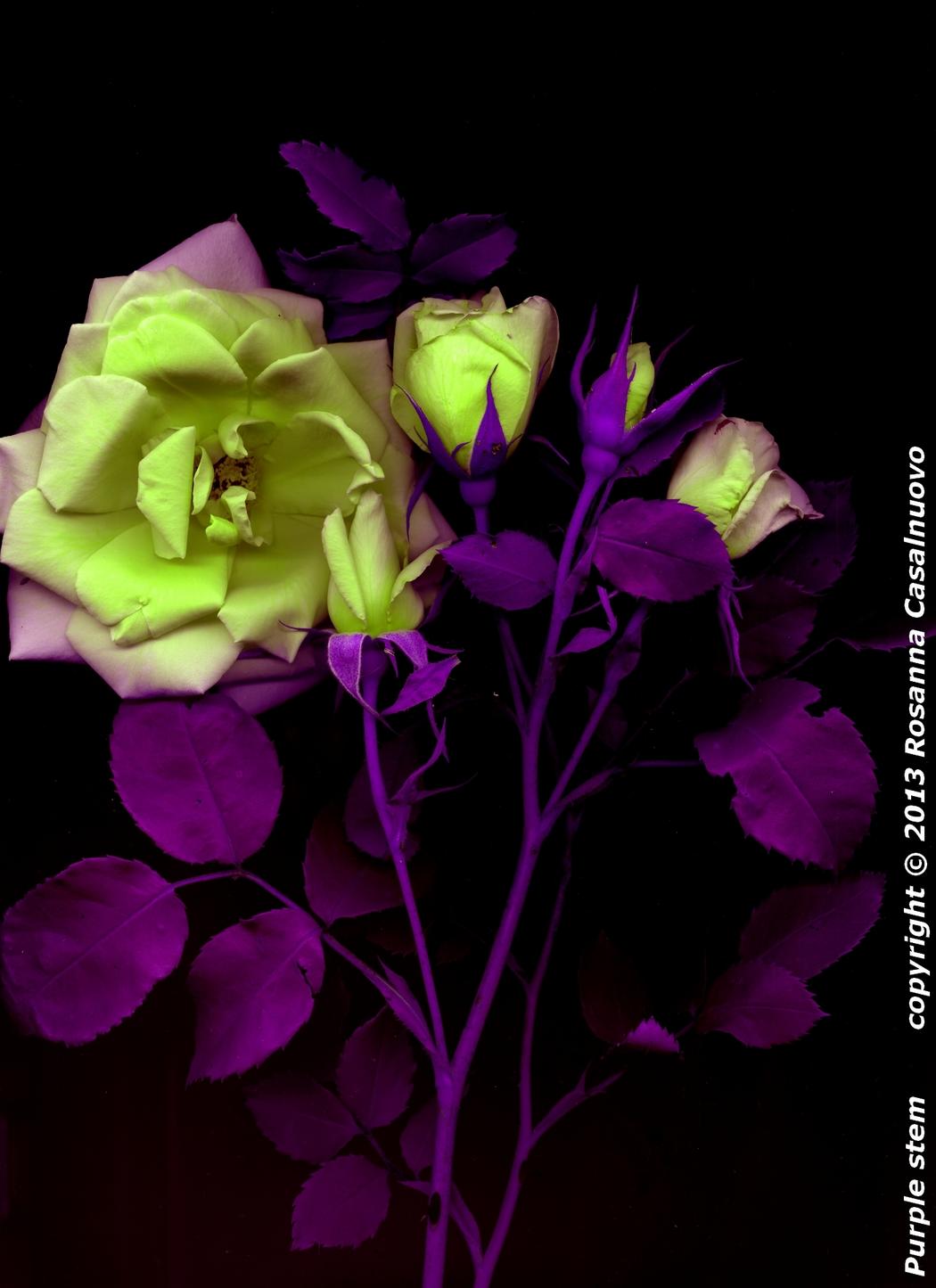 scannografia rose manipolazione colori