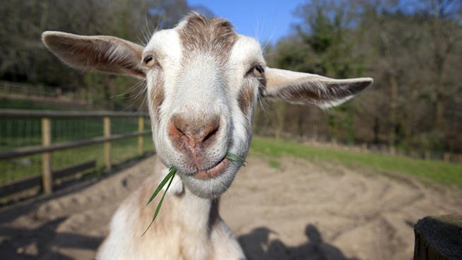 Google Rents Goat To Cut Weeds And Bushes At Their HeadQuarters