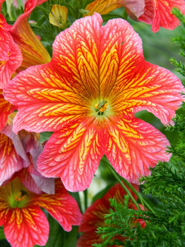 Royale Red Salpiglossis sinuata Painted Tongue Allan Gardens Conservatory Spring Flower Show 2014
