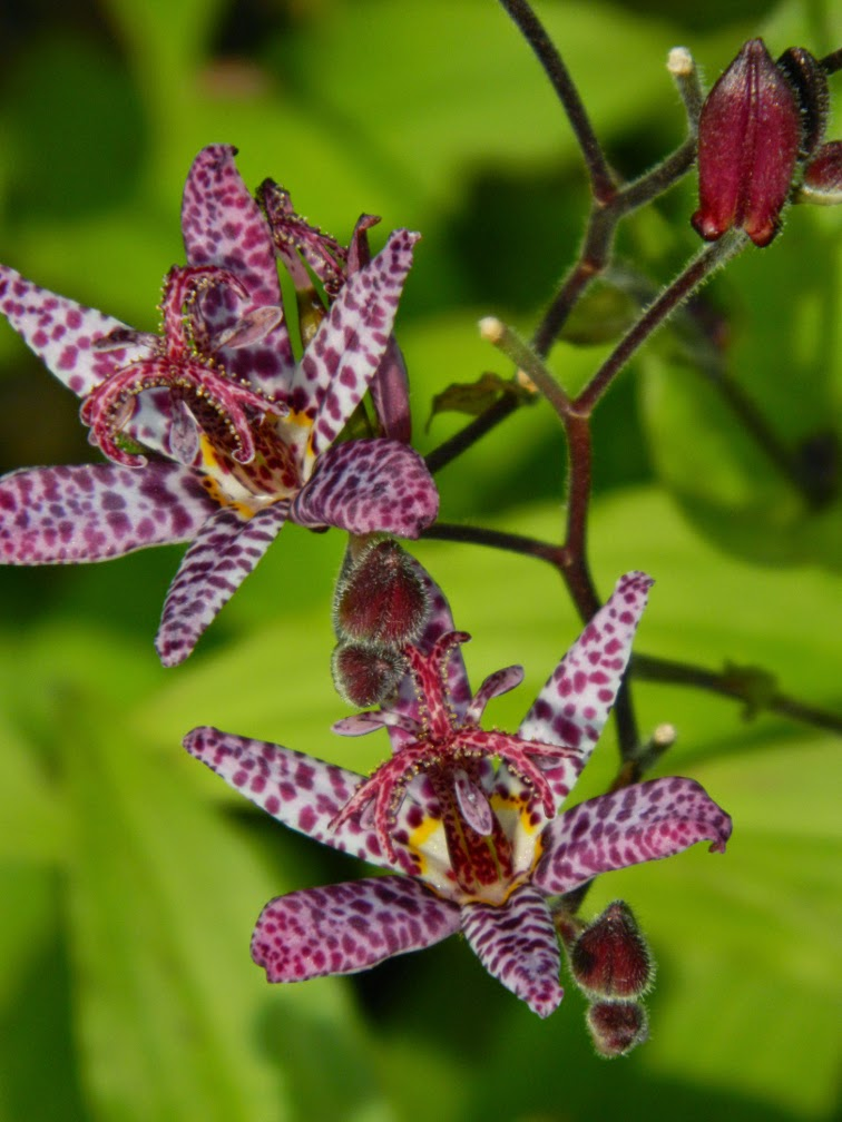 Tricyrtis formosana 'Samurai' toad lily at Toronto Botanical Garden by garden muses-not another Toronto gardening blog