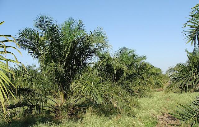 manajemen perkebunan pdf, manajemen perkebunan kelapa sawit, ruang lingkup manajemen perkebunan, makalah manajemen perkebunan, materi manajemen tanaman perkebunan, struktur organisasi perkebunan kelapa sawit, pengertian manajemen agribisnis tanaman perkebunan, manajemen perkebunan karet, manajemen perkebunan sawit