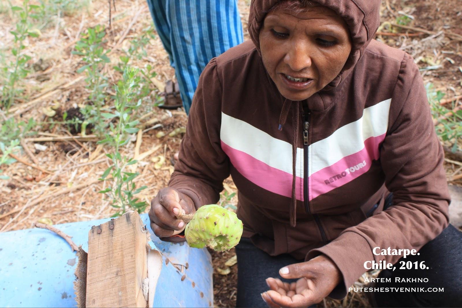 Чилийская женщина ест кактус