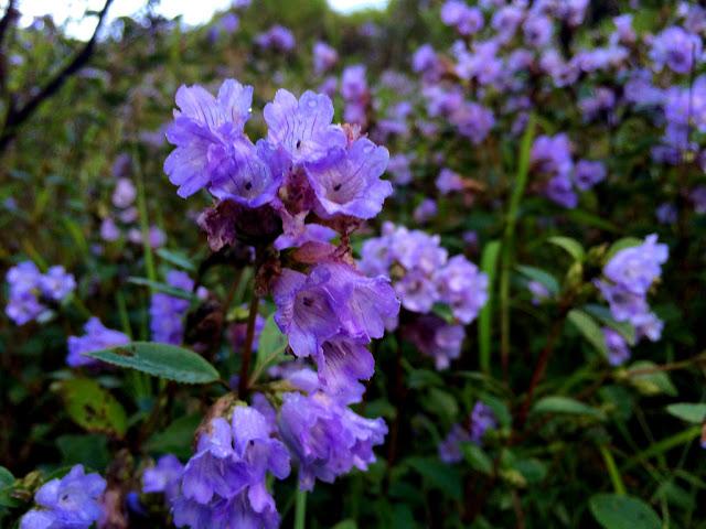 Bunga Neelakurinji Bunga Terlangka di Dunia