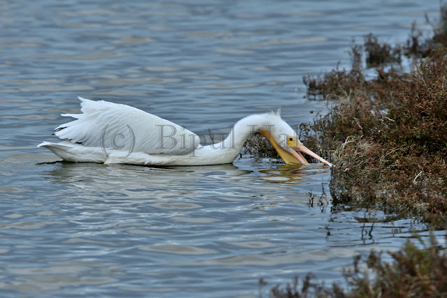 Great White Pelican Fishing