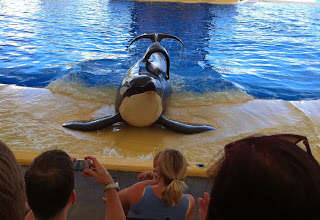 Killer Whale Orca in captivity