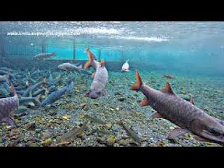ikan dewa cigugur
