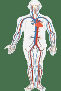 Conjunto de venas del sistema circulatorio