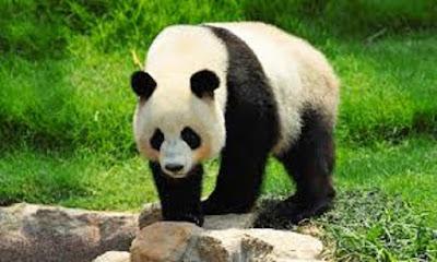 Panda hewan khas Cina - Panda Besar atau Ailuropoda melanoleucaPanda Besar atau Ailuropoda melanoleuca