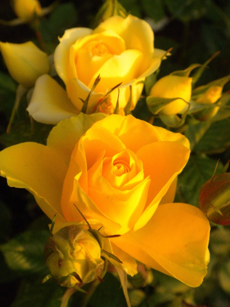 Happy Birthday Mom Quotes Wallpapers Beautiful Yellow Roses Flowers And Gardens