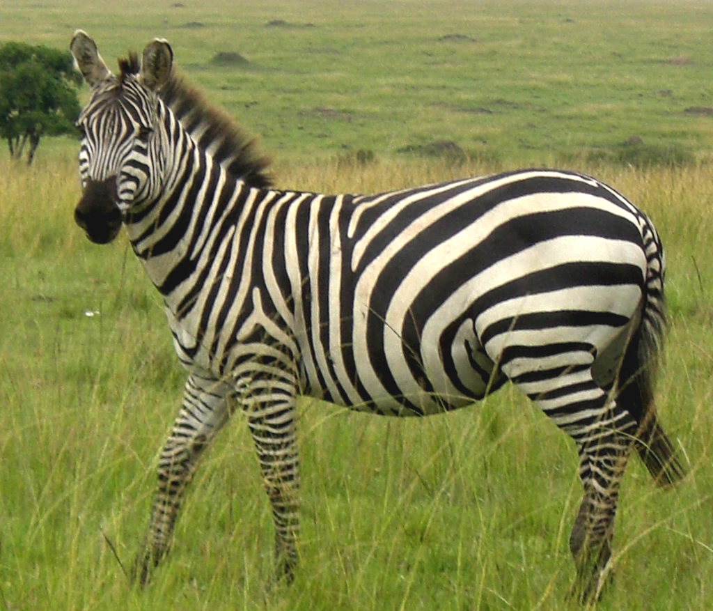Zebras Animal Info And Pictures | All Wildlife Photographs