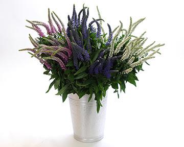 veronica flowers