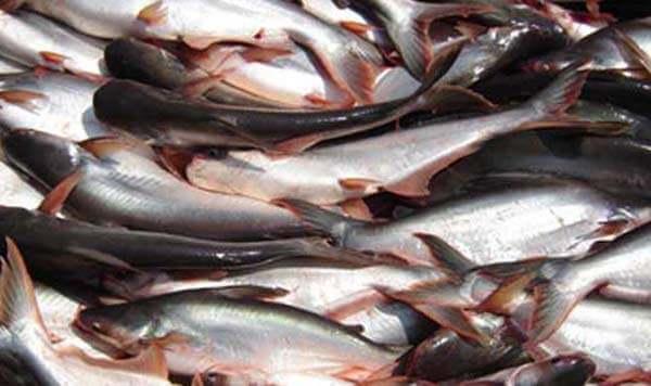 Inilah Budidaya Ikan Patin dengan Keuntungan Berlipat Ganda