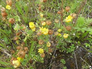 Trèfle doré - Trifolium aureum