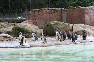 Humboldt Penguin Colony At London Zoo.