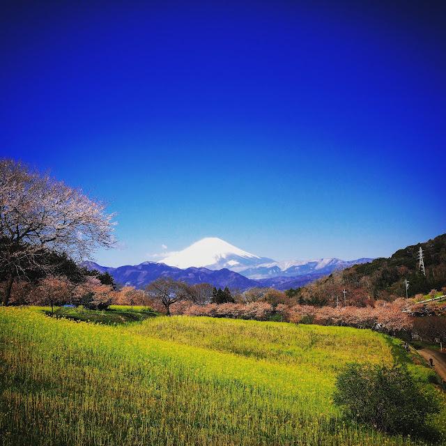 大井町 篠窪 富士見塚 菜の花 富士山 はるめき桜