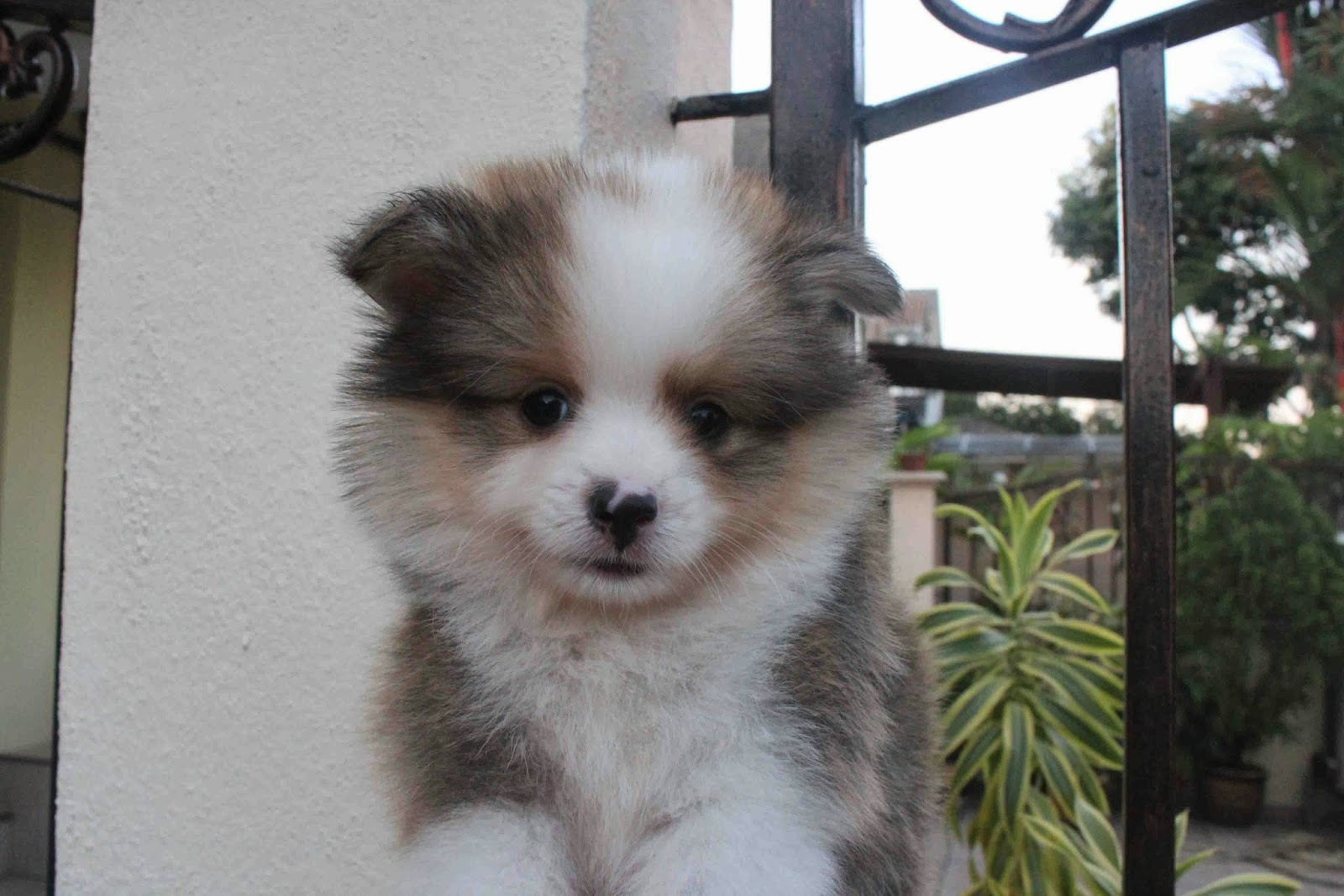 lovelypuppy mini shetland sheepdog puppy