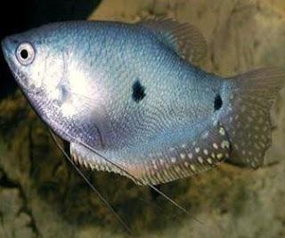 Ikan Sepat - cianjurupdate