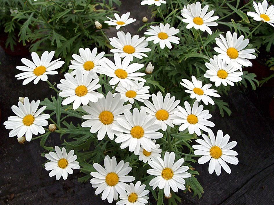 Arte Y Jardineria Plantas Perennes Con Flores Para Maceteros - Plantas-de-jardin-con-flores