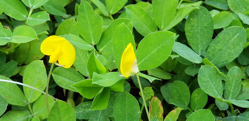 ดอกของต้นถั่วบราซิล