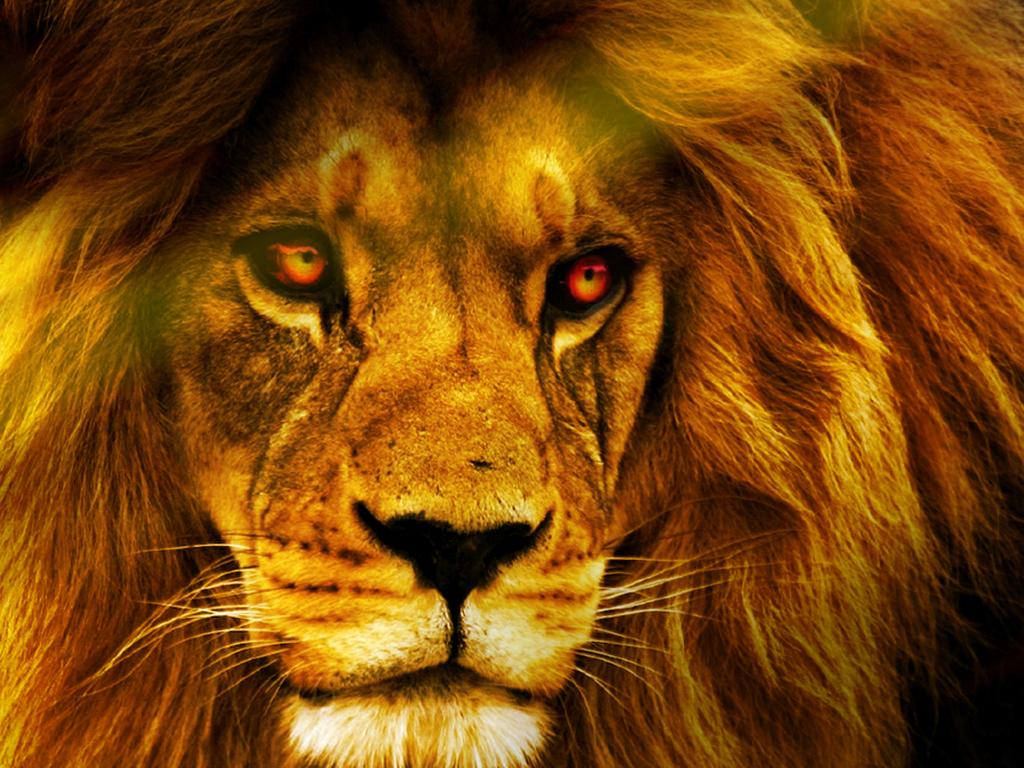 Best Resolution Wallpaper: Lion Best HD Wallpaper