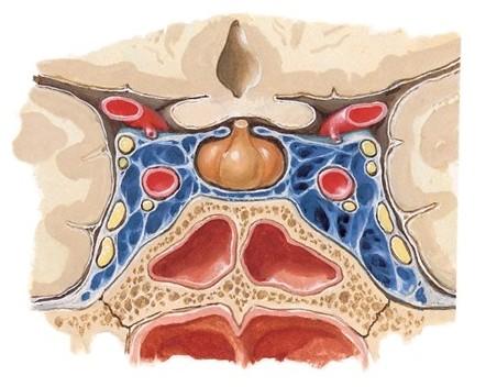 кавернозный синус пещеристая часть внутренней сонной артерии (artéria carótis intérna)