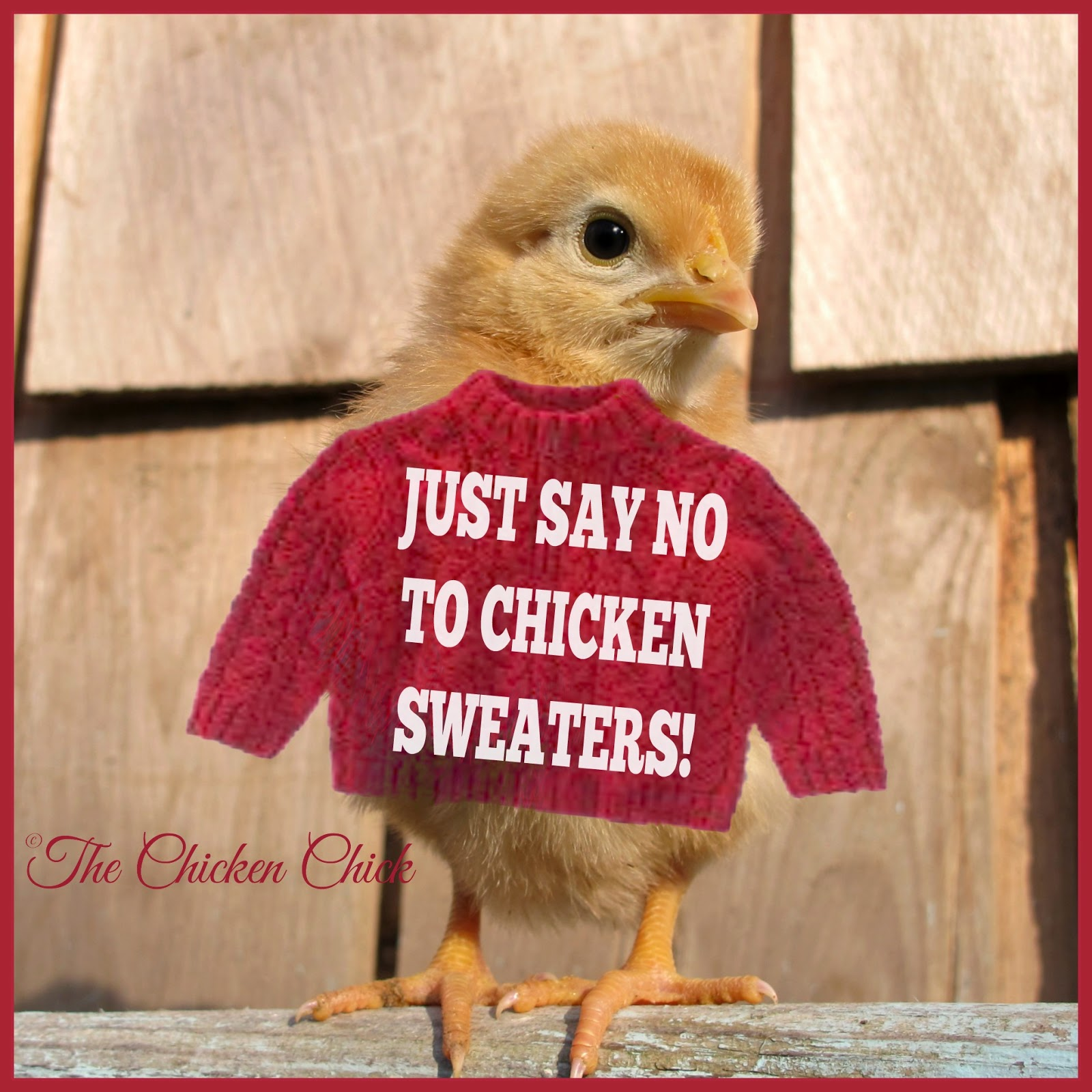chicken sweaters are not only unnecessary, they may be counterproductive, here's why: