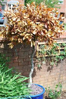 brown standard Bay Tree in pot