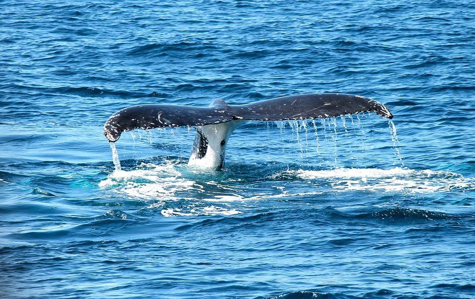 La baleine bleue a le plus gros cœur du monde