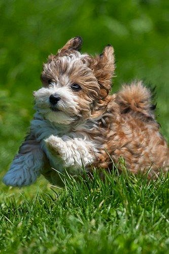 Only 14 weeks old and already running like a big boy. This Havanese puppy is full of beans!