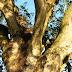 Cây gỗ Xoài