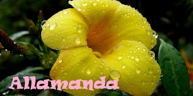 http://plantukis.blogspot.com.es/2016/11/allamanda-genero-informacion-y-video.html