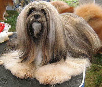Lhasa Apso Dog Care