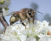 lebah.jpg