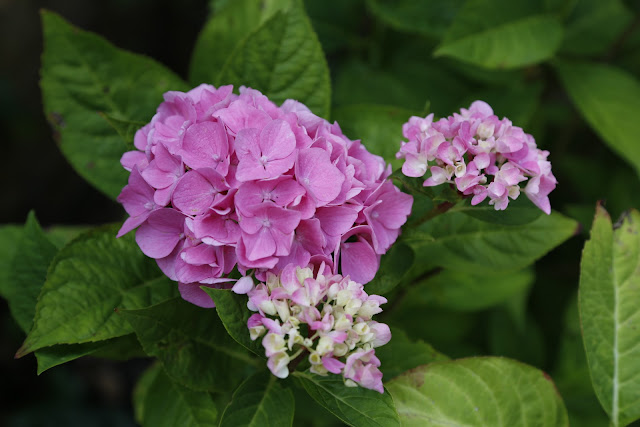 Pink Hydrangea Flowers in Bloom
